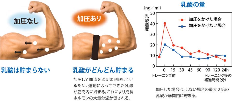 [加圧なし]乳酸は貯まらない, [加圧あり]乳酸がどんどん貯まる:加圧して血流を適切に制限してい るため、 運動によってできた乳酸が筋肉内に貯まる。これにより成長ホルモンの大量分泌が促される。, [乳酸の量]加圧した場合は、しない場合の最大2倍の乳酸が筋肉内に貯まる。